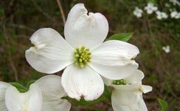 Corniolo in fioritura Immagine Stock