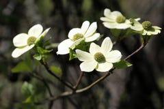 Corniolo pacifico in fioritura Fotografie Stock