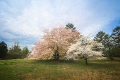 Corniolo rosa e bianco Fotografie Stock Libere da Diritti