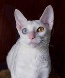 Cornish γάτα Rex στο καφετί υπόβαθρο Στοκ Εικόνα