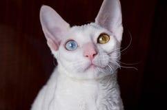 Cornish γάτα Rex στο καφετί υπόβαθρο Στοκ εικόνα με δικαίωμα ελεύθερης χρήσης