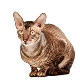 Cornish кот rex Стоковое Изображение
