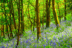 Cornish Bluebells Woods Stock Photography