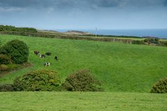 Cornish cattle royalty free stock photography
