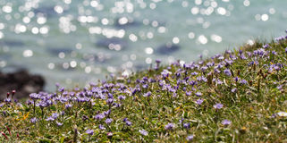 Cornish Clifftop Wildflowers Stock Images