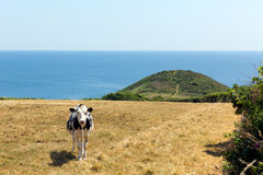 Cornish cow Black Head headland St Austell Bay Cornwall Stock Photography