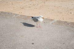 Cornish Gull, St.Ives, Cornwall, UK stock image