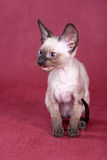 cornish kattungerex Royaltyfria Bilder