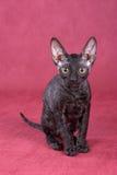 cornish kattungerex Royaltyfri Fotografi
