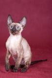 cornish kattungerex Fotografering för Bildbyråer