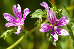 Cornish mallow flowers (Lavatera cretica). Violet cornish mallow flowers (Lavatera cretica) in sicilian countryside during spring Royalty Free Stock Photo