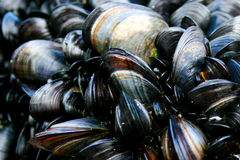 Cornish mussels. Close up of cornish mussels Stock Image
