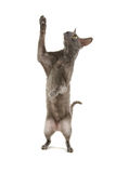 Cornish rex γατών Στοκ φωτογραφίες με δικαίωμα ελεύθερης χρήσης