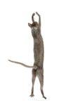 Cornish rex γατών Στοκ εικόνα με δικαίωμα ελεύθερης χρήσης