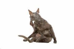 Cornish rex γατών Στοκ φωτογραφία με δικαίωμα ελεύθερης χρήσης