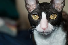cornish rex Royaltyfri Foto