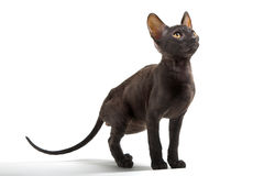 Cornish Rex. Kitten isolated on white background Royalty Free Stock Photos