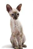 Cornish Rex. Kitten isolated on white background Stock Photos