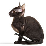 Cornish Rex Stock Photos