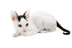 Cornish Rex. Kitten isolated on white background Royalty Free Stock Images