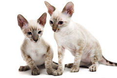 Cornish Rex Stock Photography