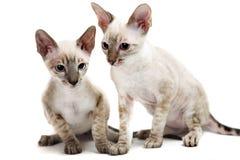 Cornish Rex. Kitten isolated on white background Stock Photography