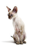 Cornish Rex Stock Images