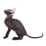 Cornish Rex Royaltyfria Bilder