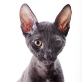 Cornish Rex Arkivfoton