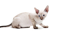 Cornish Rex Arkivbilder