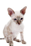 Cornish Rex Royalty Free Stock Image