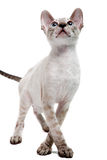 Cornish Rex Stock Image