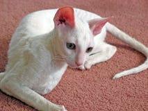 Cornish Rex Cat 1. Young Cornish Rex cat stock photos