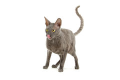Cornish Rex cat. A smokey gray Cornish Rex cat isolated on a white background Royalty Free Stock Photography