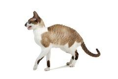 Cornish Rex cat Stock Photos