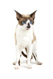 Cornish Rex cat Royalty Free Stock Photos