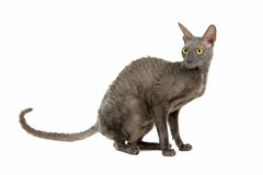 Cornish Rex cat Royalty Free Stock Images
