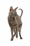 Cornish Rex cat Stock Image