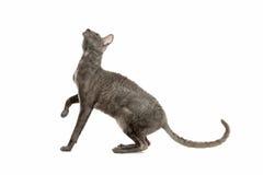 Cornish Rex cat Stock Photography