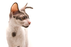 Cornish rex cat Stock Photo