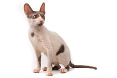 Cornish rex cat. On a white background stock images