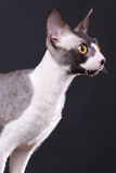 Cornish rex cat Royalty Free Stock Image