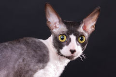 Cornish rex cat Royalty Free Stock Images