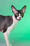 Cornish rex cat Royalty Free Stock Photos
