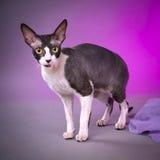 Cornish rex cat. Against the purple background Stock Images