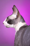 Cornish rex cat Royalty Free Stock Image
