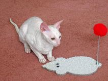 Cornish Rex Cat 2. Young Cornish Rex cat with her toy stock images