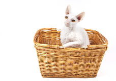 Cornish Rex Cat Stock Photos