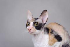 Cornish Rex cat. Portrait in grey Stock Images