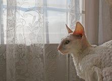 Cornish Rex Cat 3. Cornish Rex cat by a lace curtained sunny window stock photo